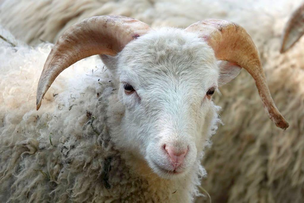 Le signe du mouton
